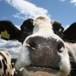 Scientists probe cow friendships