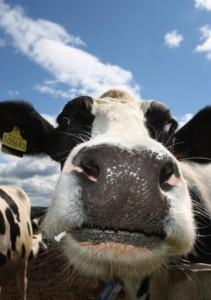 Scientists probe cow friendships